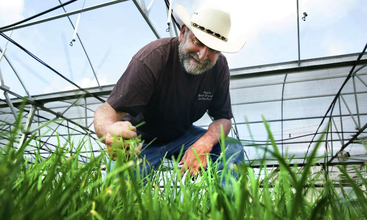 Pedro Schambon, owner and founder of My Father's Farm in Seguin, weeds a patch of garlic chives in a green house at his farm. He grows 100% organic herbs and vegetables.