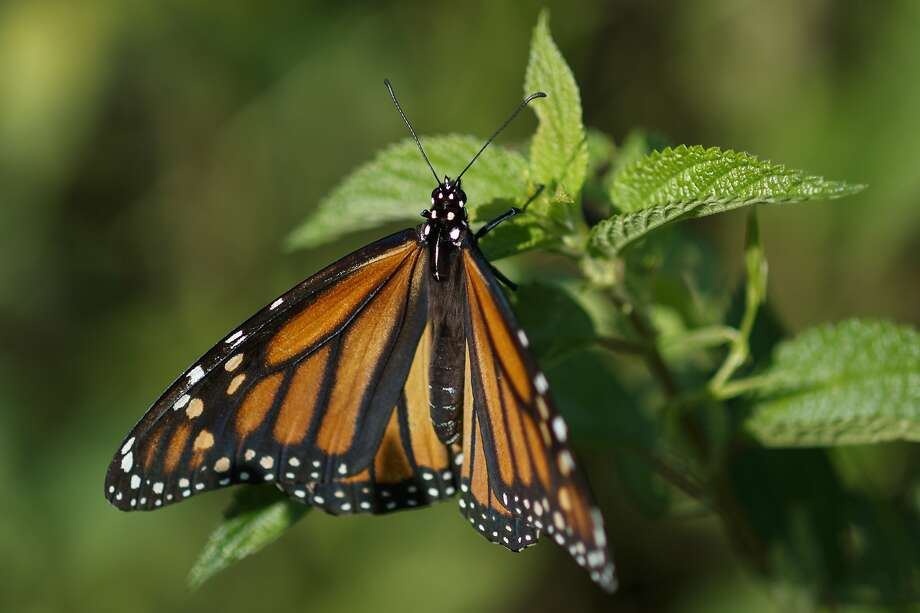 A monarch butterfly rests on a plant at Abbott's Mill Nature Center in Milford, Del., A decision on whether the monarch will be listed as threatened is expected by December 2020. Photo: Carolyn Kaster / Associated Press