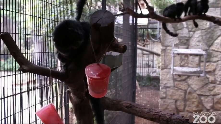 As temperatures continue to scorch the city, zoo residents such as rhinos, bears, giraffes and monkeys are all enjoying icy, all-natural treats in their diets provided by Arctic Ape. Photo: San Antonio Zoo