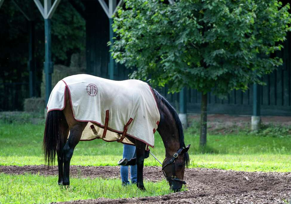 Catholic Boy grazes in the barn area of trainer Jonathan Thomas Wednesday Aug. 14, 2019 at the Saratoga Race Course in Saratoga Springs, N.Y. Photo by The Jockey Club
