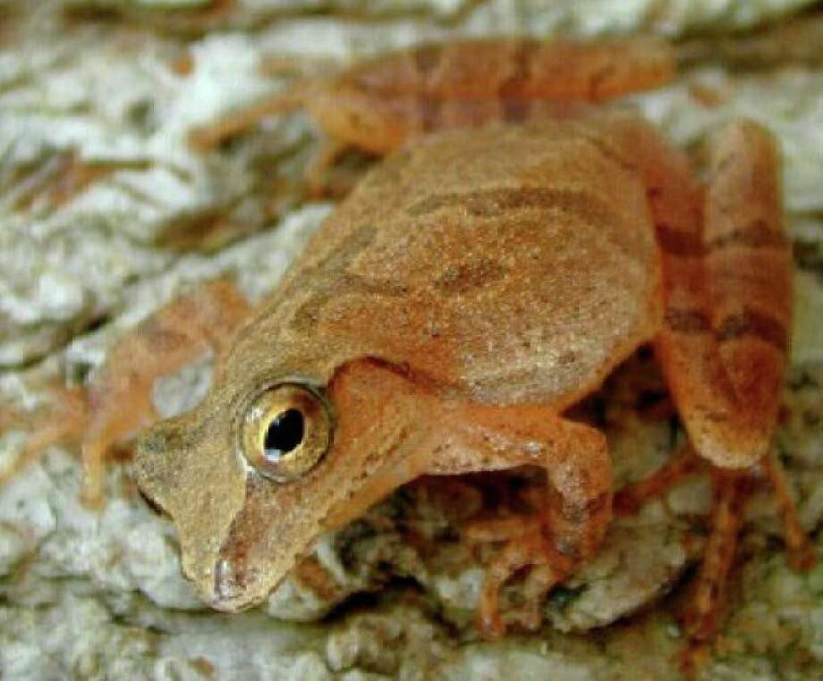 Spring Peeper. Photo: Contributed Photo.