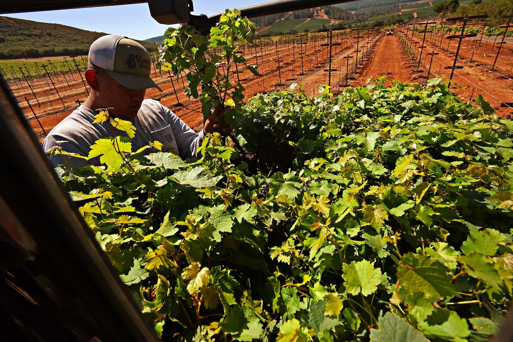 The end of Cabernet in Napa Valley?