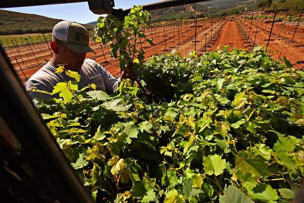 Viticulture technician Adrian Arroyo at Beckstoffer's Amber Knolls North Vineyard distributing a variety of cabernet vines for planting in order to test which specific plants are best for a warming climate in Kelseyville, California. August 15, 2019.