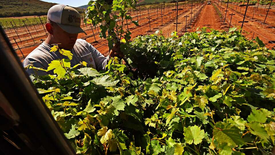 Napa wineries confront climate change by planting new experimental vineyards