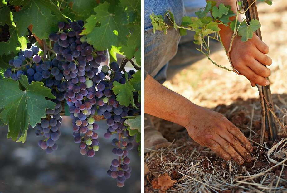 LEFT: Cabernet vineyard grapes seen on Tuesday, Aug. 13, 2019, in Calistoga, Calif. RIGHT: Viticulture technician Edgar Ramirez, 22, planting experimental cabernet vines at Beckstoffer's Amber Knolls North Vineyard in Kelseyville, California. August 15, 2019. Photo: Liz Hafalia / The Chronicle; Erik Castro / Special To The Chronicle