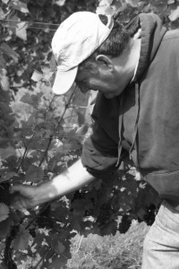 Grape Harvest: Mark Evans checks on grapes grown on his farm, which is know for Riesling and Pinot grapes. The After last year's harvest, the brothers are considering expanding their grape operation. (Photo by Nate Messersmith)