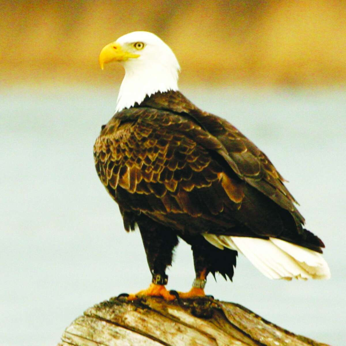 Local Residents: Bald Eagles are no strangers to Benzie County, and often can be seen searching for food over Betsie Bay in Frankfort. Earlier this year, a family of 4 were seen along the shores of the bay. (Photo/Carl Freeman)