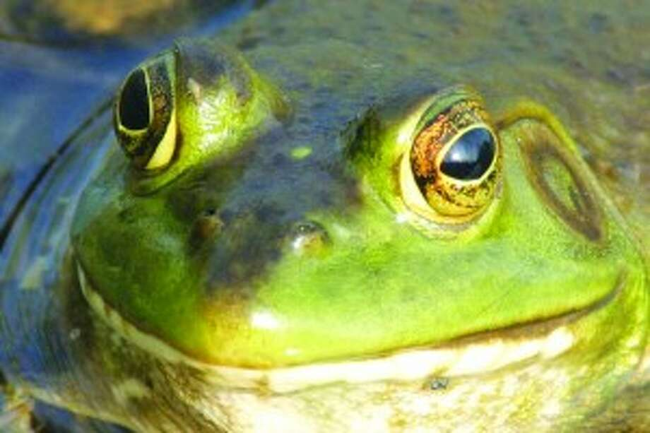 Feeling Froggy: The DNR is looking for volunteers to count the number of frogs and toads in areas across Michigan in order to get a sense of the changes in population.