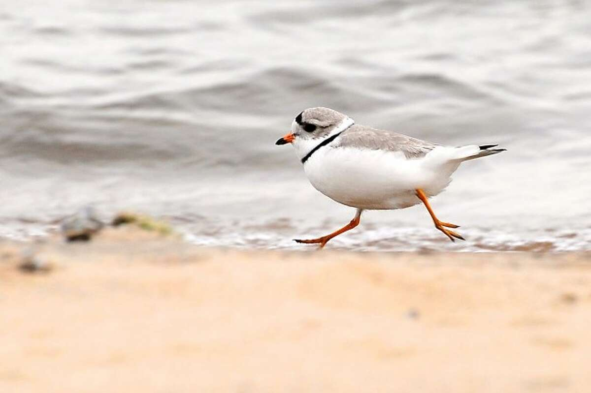 MIGRATORY: The piping plover is one of many bird species that has benefited from the protections of the Migratory Bird Treaty, which marks its 100th anniversary in 2016. (Courtesy Photo)