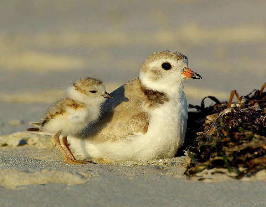 Piping Plover (Charadrius melodus) Source: ECOS