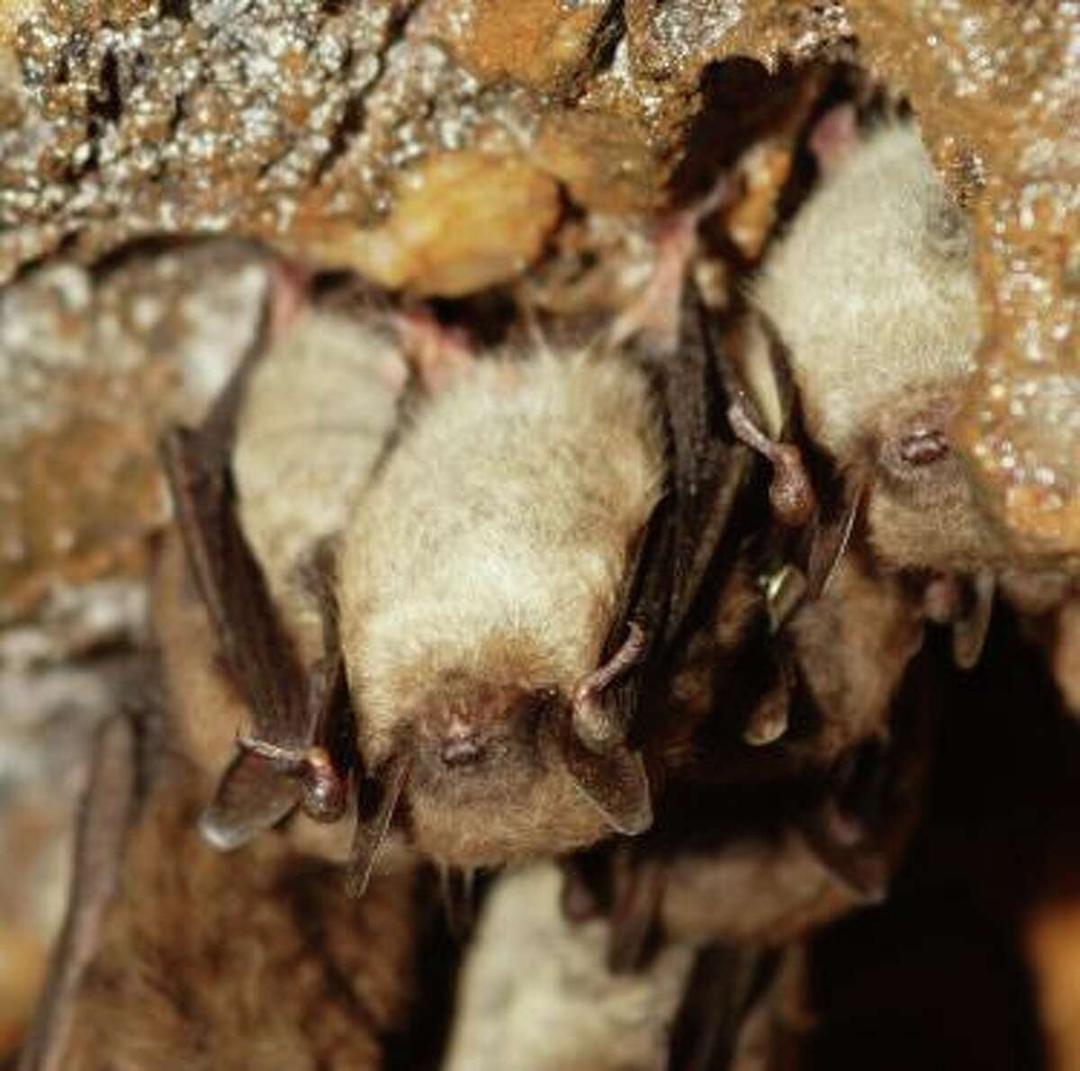 Little brown bats, recently listed as endangered on Connecticut's List of Endangered, Threatened and Special Concern Species.