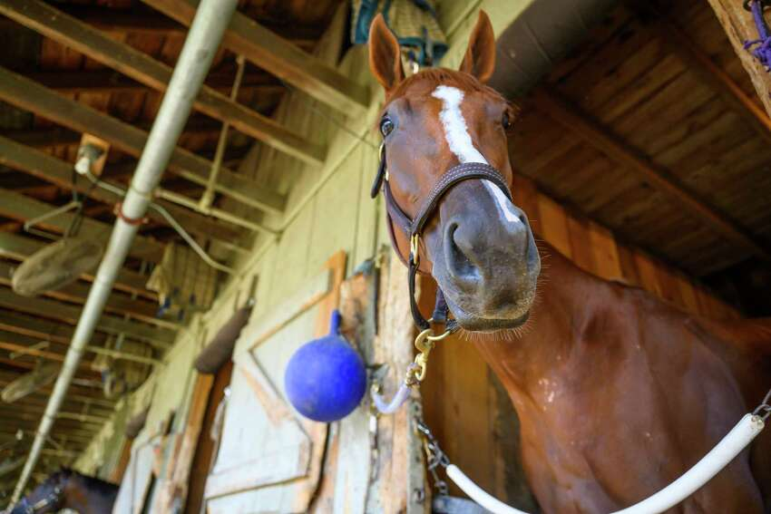 Alabama entrant Point of Honor checks out the sights from her stall Thursday Aug. 15, 2019 on the Oklahoma Training Center adjacent to the Saratoga Race Course in Saratoga Springs, N.Y. Photo Special to the Times Union by Skip Dickstein