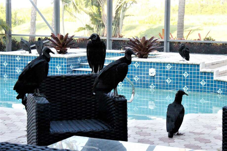 Florida vacation home invaded by vomiting vultures
