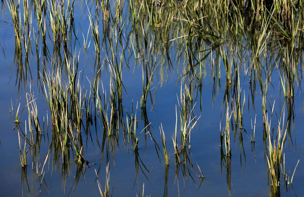 Grass pokes up through the water inside the decimated wetlands near Vallejo.