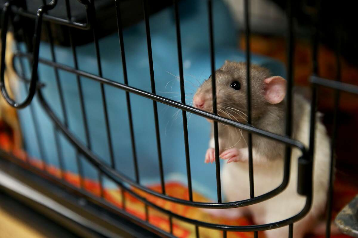 Eleanor Sadler, a sergeant with the San Francisco Animal Care and Control, greets a rat in San Francisco, Calif., on Thursday, August 15, 2019.