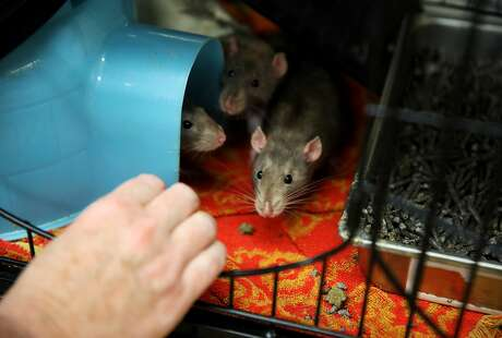 Eleanor Sadler, a lieutenant with San Francisco Animal Care and Control, greets rats Louise, Bob and Gene at the S.F. facility. Photo: Yalonda M. James / The Chronicle