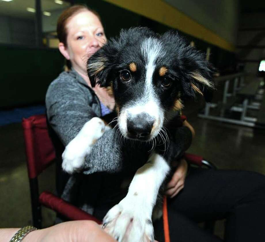 Australian Shepard Odin, 6 weeks, sits on his owner's lap, Cathy Harmon, of Columbia, Missouri, at the Greater St. Louis Agility competition at the Sports Academy in Glen Carbon. Odin was not competing, but his owner's other dogs were. He came to see how it was done. Photo: Photos By Thomas Turney | For The Intelligencer