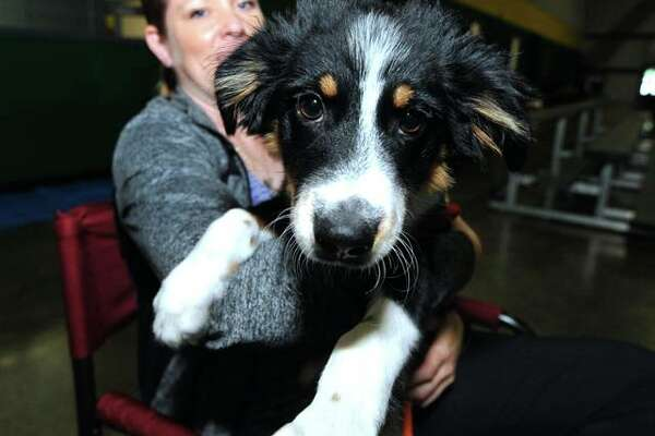 Australian Shepard Odin, 6 weeks, sits on his owner's lap, Cathy Harmon, of Columbia, Missouri, at the Greater St. Louis Agility competition at the Sports Academy in Glen Carbon. Odin was not competing, but his owner's other dogs were. He came to see how it was done.