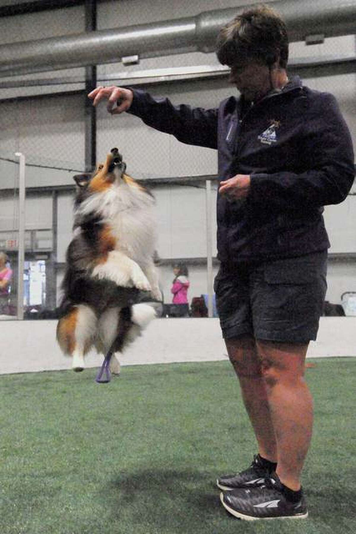 Joan Meyer of Caseyville, puts her dog Ray, 7, a Shetland Sheepdog, through a warm-up routine.
