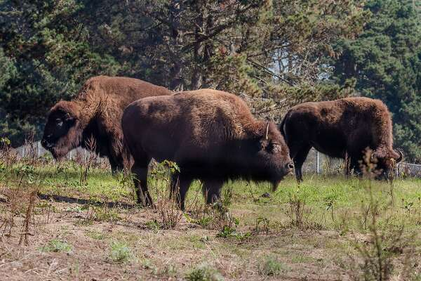 Bison hang out in their paddock at Golden Gate Park