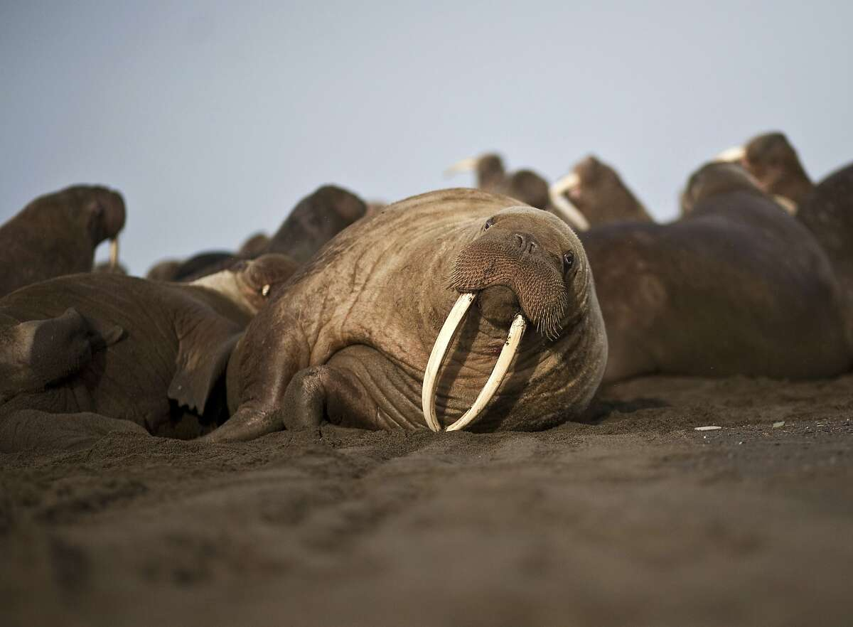 A female Pacific walrus in Point Lay, Alaska, in 2013. Wildlife conference participants are discussing the ivory trade.