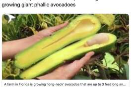 The long-neck Pura Vida avocado is going viral. Here's what people are saying about the unique fruit.