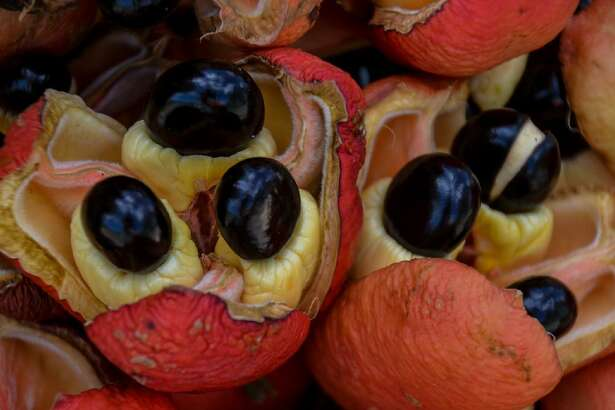 Ackee fruit Although it's native to West Africa, the versatile ackee fruit is the national fruit of Jamaica, where it grows on trees that can reach 50 feet tall. Most Americans, however, will live their whole lives and never taste one-it's banned by the FDA. Ackee contains hypoglycin, a non-proteinogenic amino acid toxin. If ackee is eaten when it's not quite ripe, it can trigger a serious reaction-fittingly called Jamaican vomiting sickness-and can even be fatal. This slideshow was first published on theStacker.com