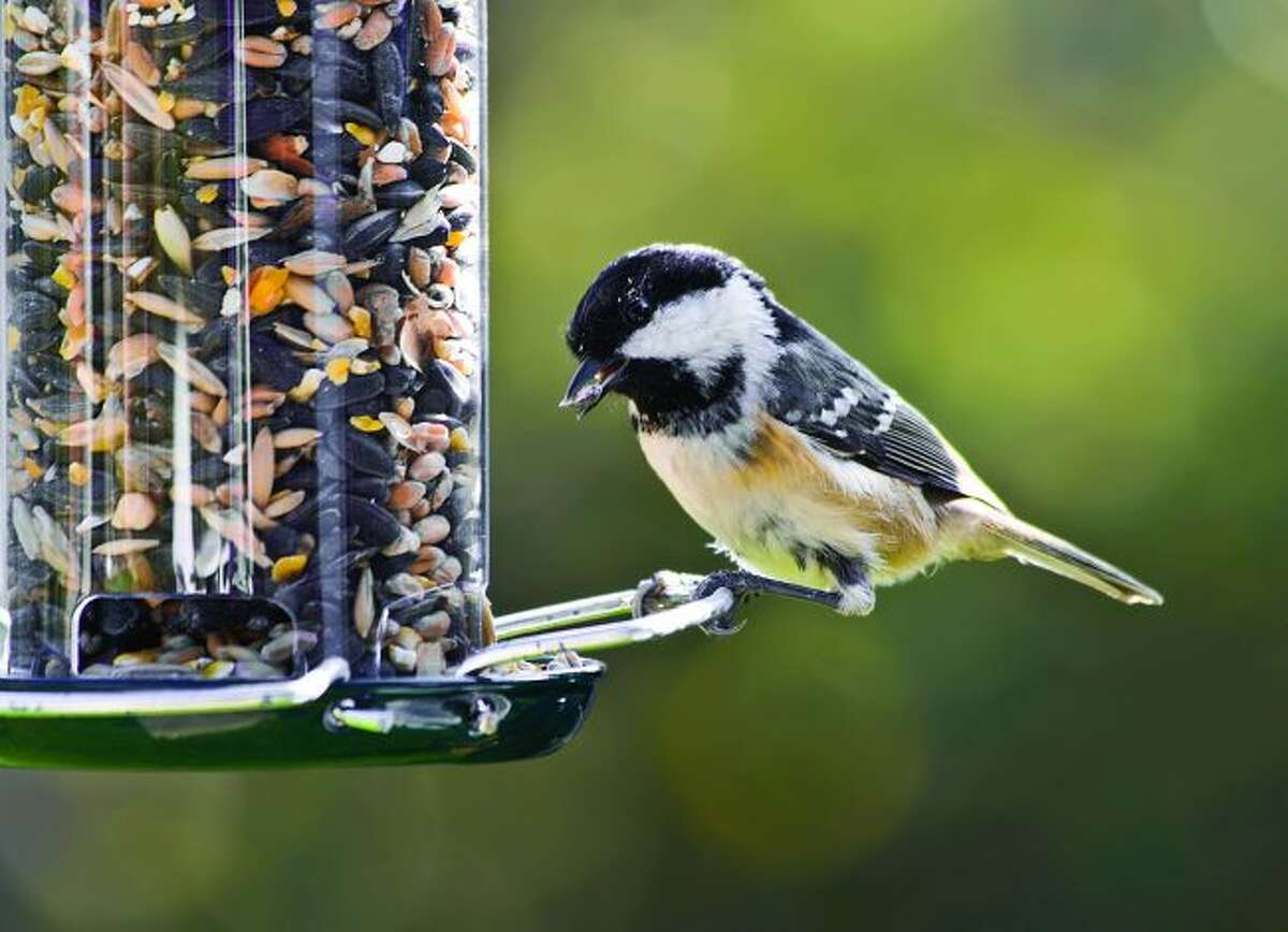 A black-capped chickadee sits at a bird feeder. Readers, share your bird photos with us for a chance to win a brand new pair of binoculars. (Courtesy photo)