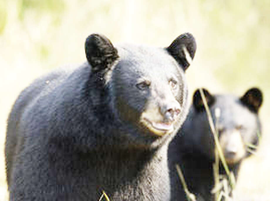 BEARS: Black bears are native to Michigan, and many residents enjoy hunting them. But increased number may lead to more negative run-ins with humans. (Courtesy photo)