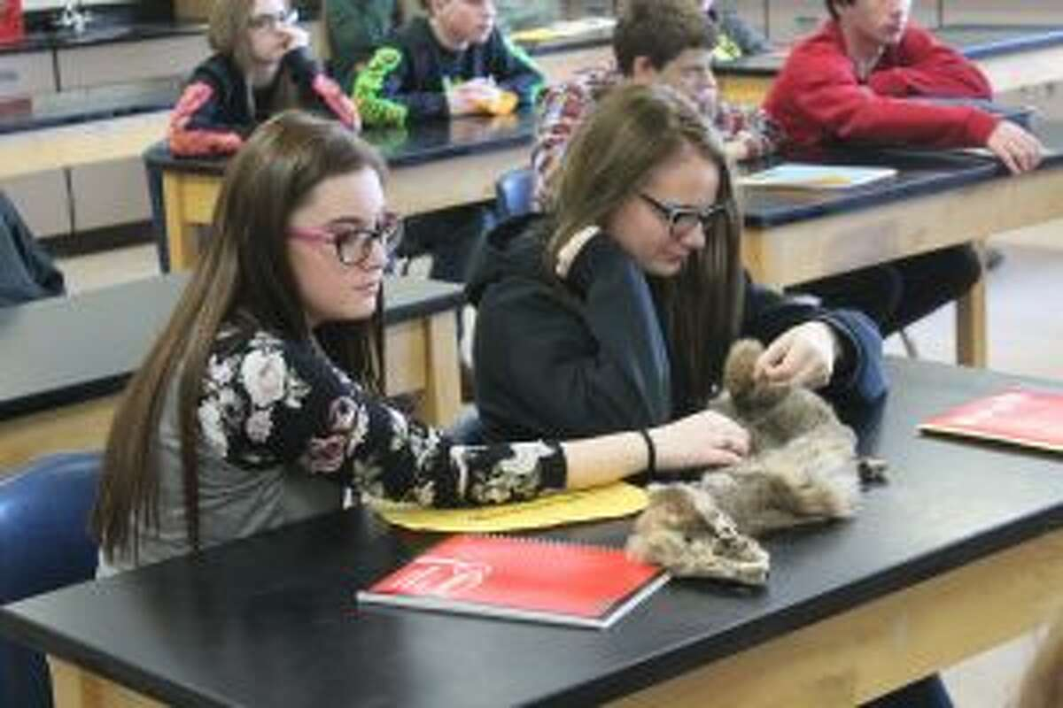 LOOKING: Evart High Schools students look at a bobcat pelt during Michigan Department of Natural Resources Wildlife Communications Coordinator Katie Keen's session for Career Day. Inspecting trappers' pelts is among the many responsibilities the department charged with.