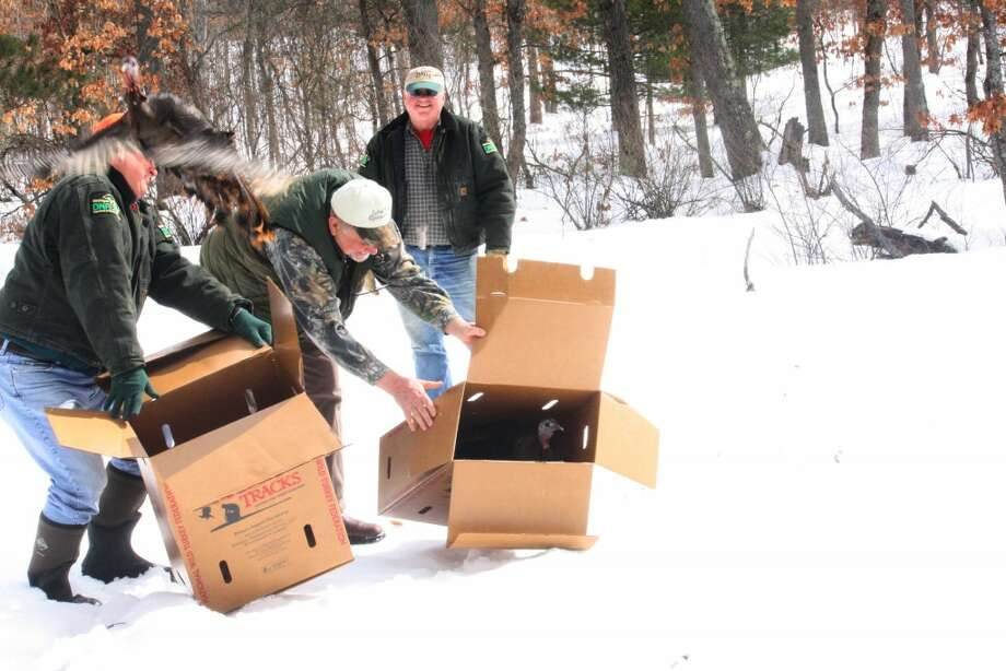 TURKEY POPULATION: The purpose of the DNR's turkey relocation is to hopefully improve local bird populations while simultaniously removing excess or nusiance populations from the southern area of Michigan. (Herald Review photo/John Raffel)