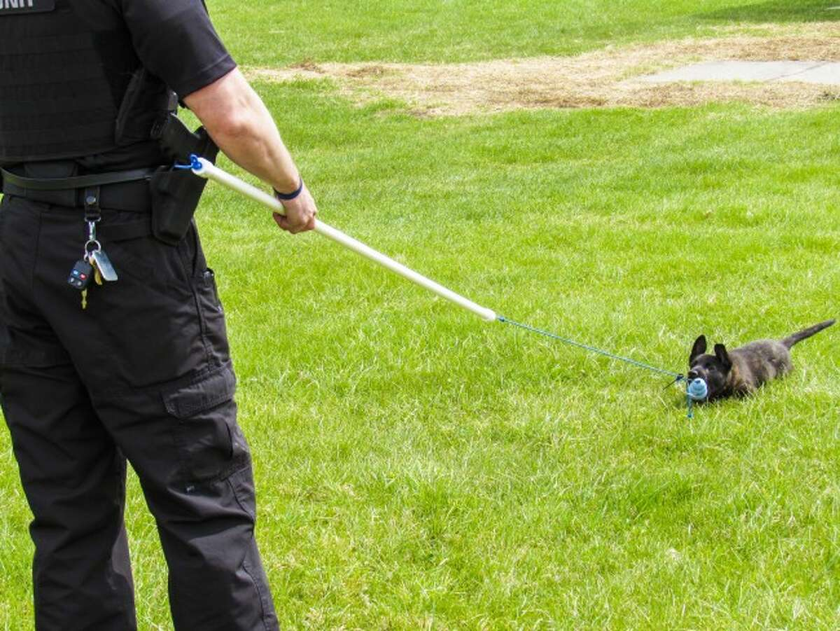GAMES: Playing a game of tug, K9 Ryker pulls on his toy with Osceola County Sheriff's Deputy Jed Avery. The puppy currently is just beginning training and is working on socializing with other dogs and people.