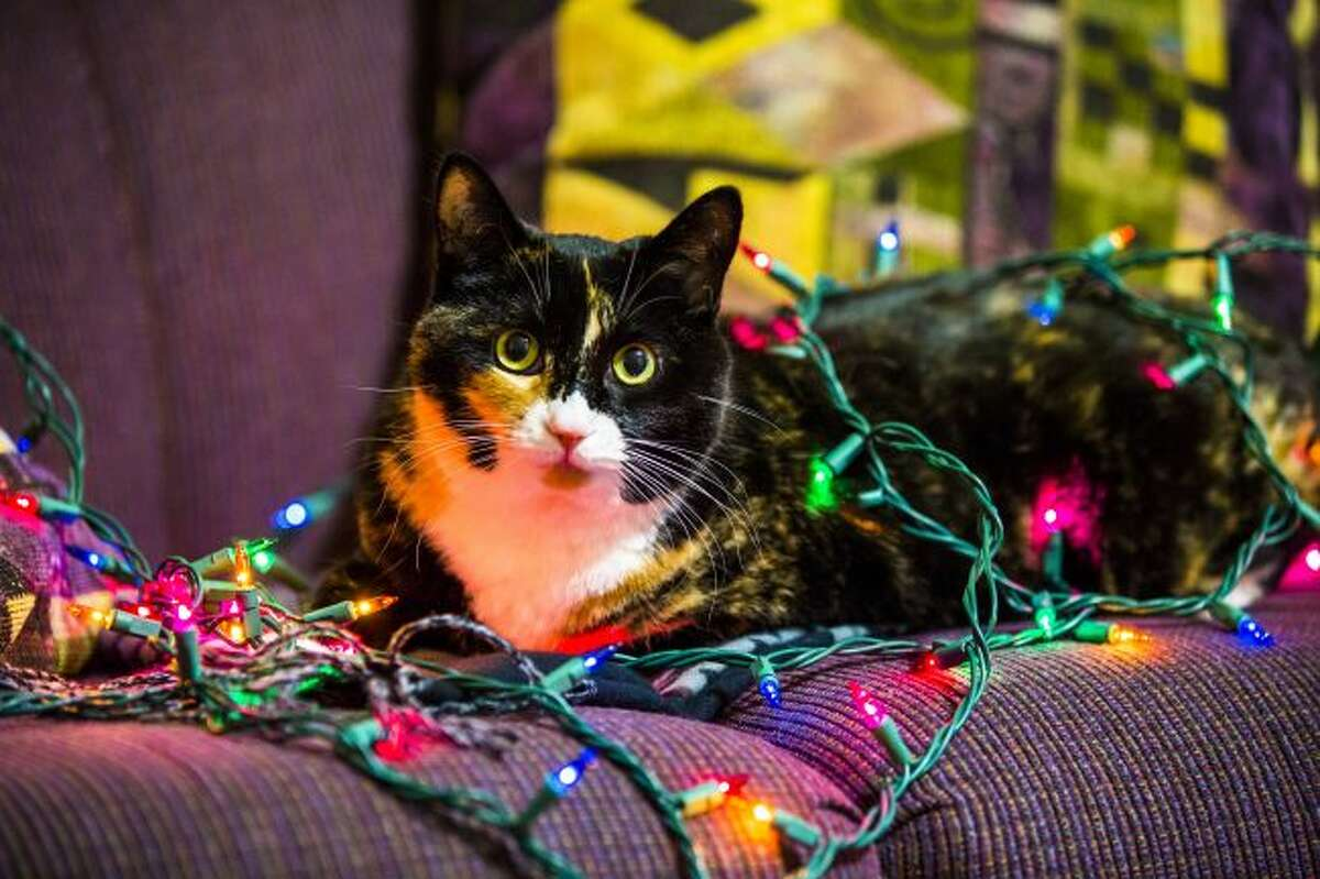 The American Veterinary Medical Association recommends unplugging all decorations when leaving the home in case Fluffy or Fido decides to chew on the cord. (Herald Review file photo)