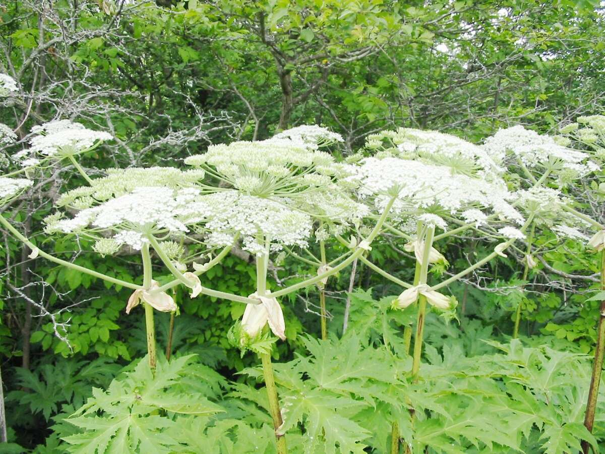 Identify and avoid: A member of the carrot family, giant hogweed should be handled with great care, especially when it reaches its full size. (Courtesy photo)