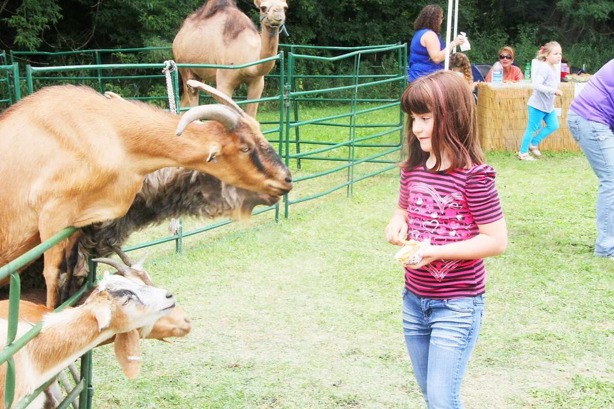 Goats try to snag a quick bite to eat as a girl prepares to feed them during the Hersey River Town Festival on Saturday.