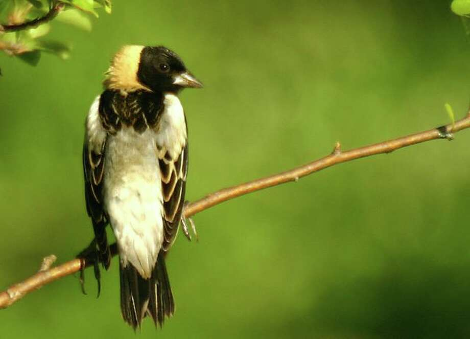 To nest successfully, Bobolinks require large grasslands that remain unmowed through the middle of the summer. Photo: Contributed Photo / Connecticut Post Contributed