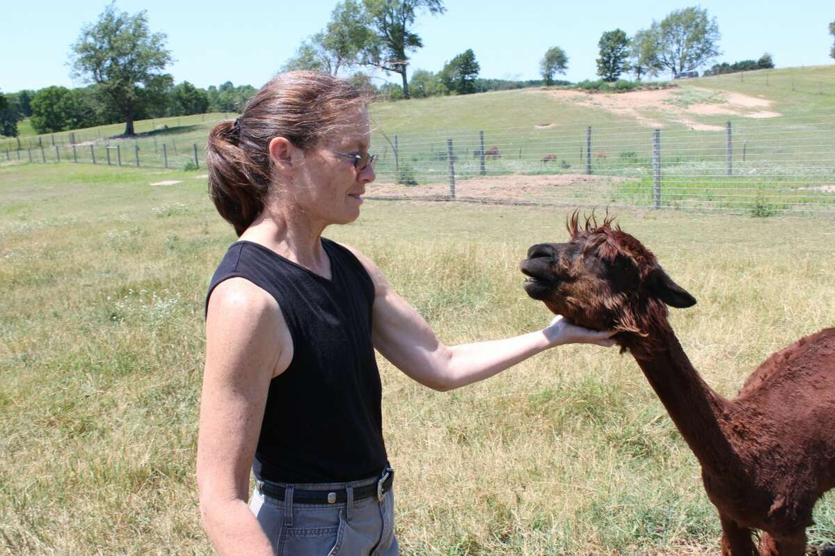 FURRY FRIENDS: Nancy Turner has around 50 alpacas on her farm in Reed City. Each animal has a birth certificate and is registered nationally. (Herald Review photos/Sarah Neubecker)