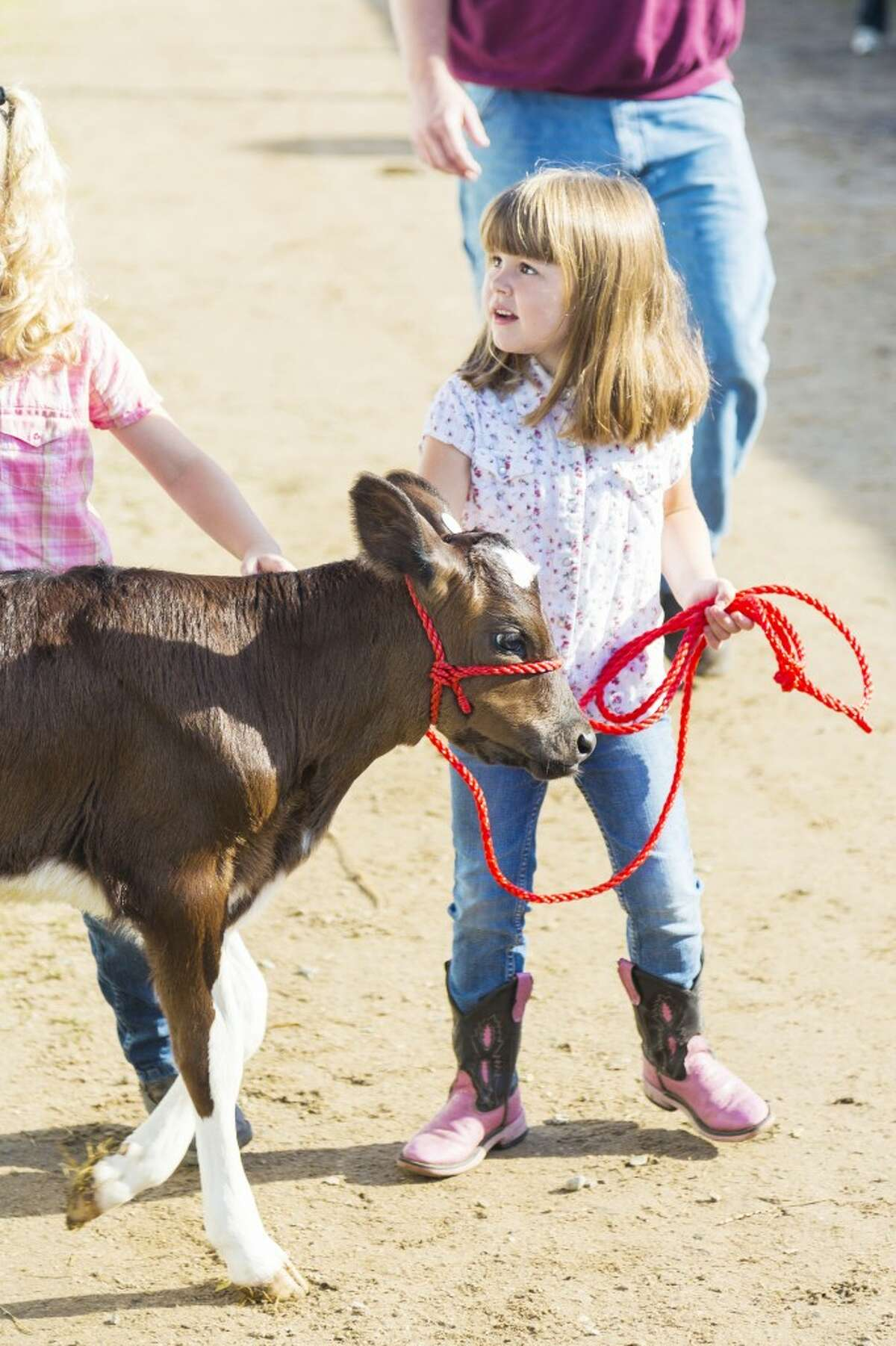 KIDS AND CALVES: A young 4-H'er practices leading her calf. Kids of all ages participate at fair, some showing only one animal or project, and some showing everything in the fair book. (Herald Review photo/Justin McKee)