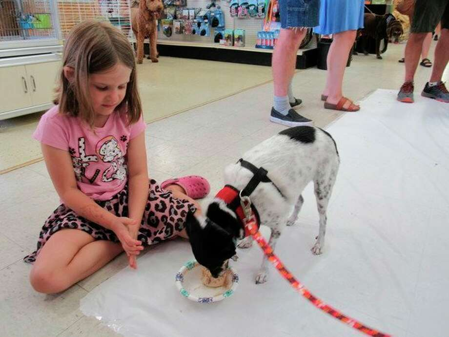Coco, a 3-year-old terrier mix, participates in the Dog Fro-Yo Eating Contest on Saturday at Soldan's Pet Supplies in Midland. (Victoria Ritter/vritter@mdn.net)