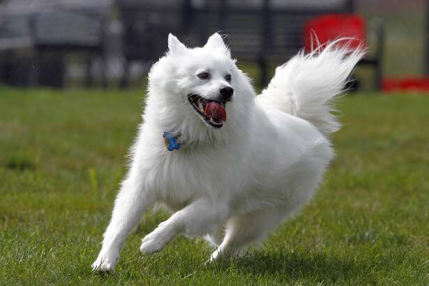 #51. American Eskimo dog (tie) - Class: Above-average working dogs - Understanding ofnew commands: 15-25 repetitions - Obey first command: 70% of the time or better If you have an American Eskimo dog, you should consider agility training to keep your dog engaged. In the 19th century, the breed became circus dogs thanks to their trainability, and they are the first known breed to learn how to walk a tightrope. This slideshow was first published on theStacker.com