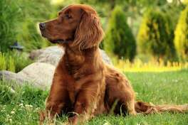 #45. Irish setter (tie) - Average lifespan: 11.8 years - Popularity rank: #72 Irish setters are easily recognized by their silky, brick-red coats. Their lovable personalities, sweet tempers, and smarts make them excellent companions. This slideshow was first published on theStacker.com