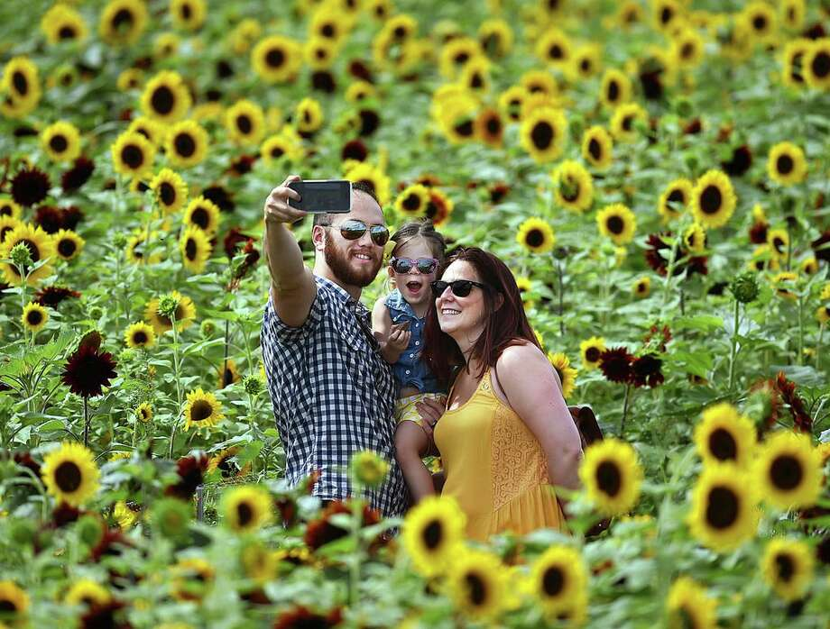 David Mann, of South Windsor takes a selfie with his 3-year old daughter Brynne and his wife Shannon in the middle of the Train Sunflower Maze at Lyman Orchards, Tuesday, August 2, 2016, in Middlefield. Lyman's celebrates their 275th anniversary with a train-themed maze using 350,000 red and yellow sunflowers honoring ancestor David Lyman II who built the Airline Railroad in the 1860's creating access from Boston to New York. The maze is open from 9-5 seven days a week until August 28, 2016. The last entrance into the maze is 4:30 p.m. Admission: $10, $5 for ages 4-12 and free for children 3 and under. One dollar of every ticket sale is donated to Connecticut Children's Medical Center. (Catherine Avalone/New Haven Register) Photo: Catherine Avalone / New Haven RegisterThe Middletown Press