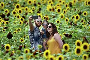 David Mann, of South Windsor takes a selfie with his 3-year old daughter Brynne and his wife Shannon in the middle of the Train Sunflower Maze at Lyman Orchards, Tuesday, August 2, 2016, in Middlefield. Lyman's celebrates their 275th anniversary with a train-themed maze using 350,000 red and yellow sunflowers honoring ancestor David Lyman II who built the Airline Railroad in the 1860's creating access from Boston to New York. The maze is open from 9-5 seven days a week until August 28, 2016. The last entrance into the maze is 4:30 p.m. Admission: $10, $5 for ages 4-12 and free for children 3 and under. One dollar of every ticket sale is donated to Connecticut Children's Medical Center. (Catherine Avalone/New Haven Register)
