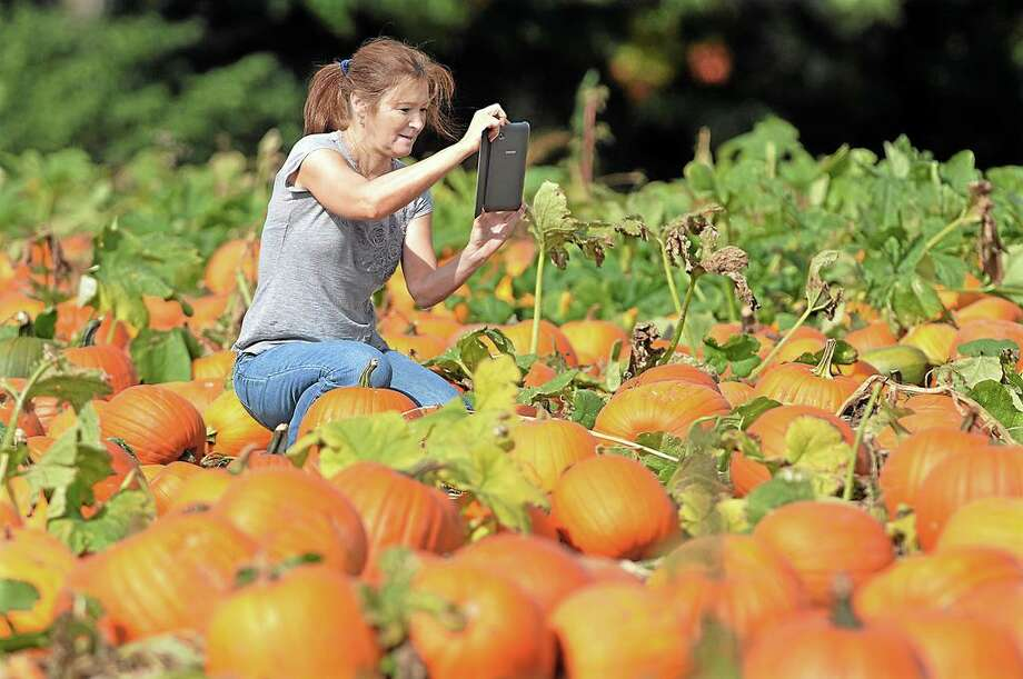 "Guilford resident Maureen Talarczyk takes pictures of pumpkins at Lyman Orchards in Middlefield Thursday afternoon with her new Samsung Galaxy Tab 2. Talarczyk said, ""I like to post pictures on Facebook and Instagram."" Pumpkins range from .48cents to .53 cents per pound and picking continues through the month of October. Catherine Avalone - The Middletown Press Photo: Catherine Avalone / Journal Register Co. / TheMiddletownPress"