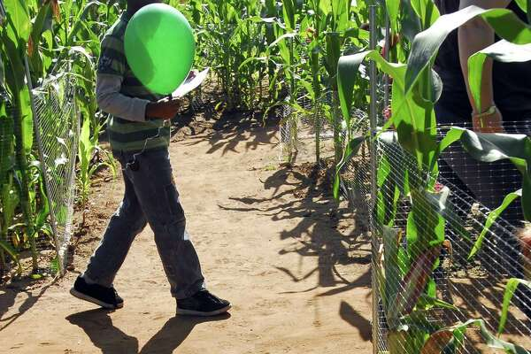 Photography by PETER HVIZDAK ph1148 #4882 Middlefield, Connecticut - September 26, 2009: A lone traveler and his shadow in the Lyman Orchards Corn Maze.
