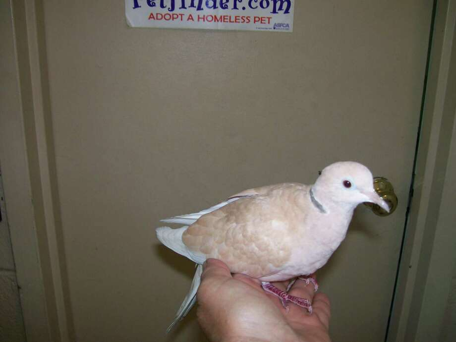 A ring neck dove is available for adoption. Photo: Contributed Photo
