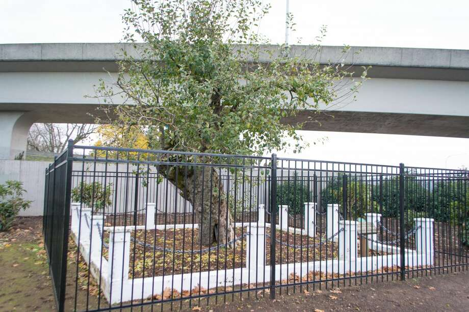 Oldest apple tree in Washington dies at 194, but legacy lives on in new saplings Photo: Wikimedia Commons