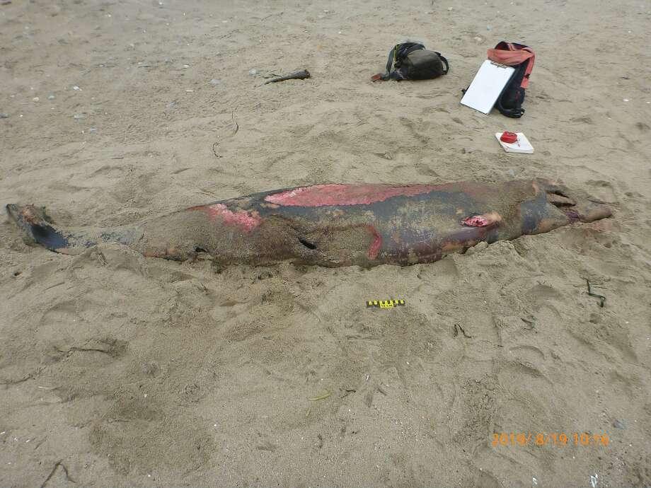 Beaked whale washed ashore at Drakes Beach at Point Reyes. Photo: Gordon Bennett / NOAA