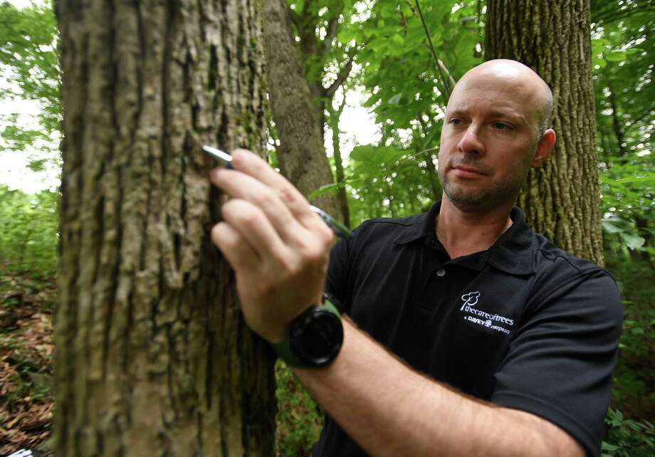 Jeff Delaune, New Haven County district manager for The Care of Trees, a Davey company, points out the signature d-shaped hole of the emerald ash borer in a dead ash tree in Osbornedale State Park in Derby, Conn. Photo: Brian A. Pounds / Hearst Connecticut Media / Connecticut Post