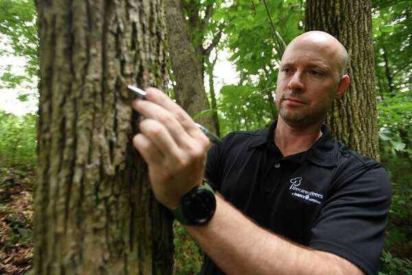 Jeff Delaune, New Haven County district manager for The Care of Trees, a Davey company, points out the signature d-shaped hole of the emerald ash borer in a dead ash tree in Osbornedale State Park in Derby, Conn.